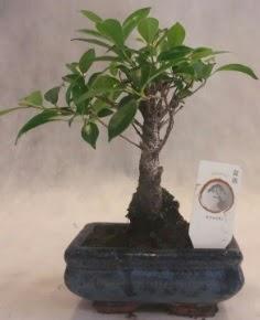 Bonsai ağacı japon ağaç bitkisi  Nevşehir çiçek servisi , çiçekçi adresleri