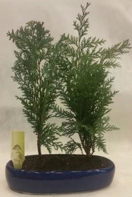 SINIRLI SAYIDA Selvi Ağacı bonsai ikili  Nevşehir kaliteli taze ve ucuz çiçekler