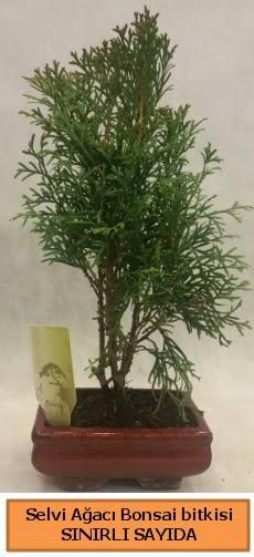 Selvi ağacı bonsai japon ağacı bitkisi  Nevşehir güvenli kaliteli hızlı çiçek