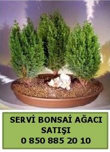 BONSAİ 3 LÜ SERVİ BONSAİ AĞACI  Nevşehir kaliteli taze ve ucuz çiçekler