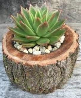 Doğal kütük saksı içinde sukelent kaktüs  Nevşehir hediye sevgilime hediye çiçek