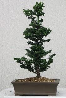 Çam ağacı bonsai bitkisi satışı  Nevşehir kaliteli taze ve ucuz çiçekler