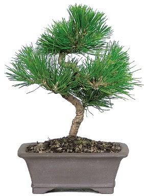 Çam ağacı bonsai japon ağacı bitkisi  Nevşehir çiçek mağazası , çiçekçi adresleri