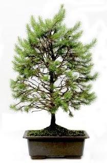 *** STOKTA YOK - Çam ağacı bonsai bitkisi satışı  Nevşehir hediye çiçek yolla