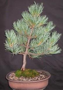 Bonsai çam ağacı japon ağacı bitkisi  Nevşehir çiçek gönderme sitemiz güvenlidir
