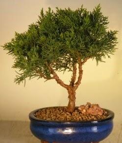 Servi çam bonsai japon ağacı bitkisi  Nevşehir çiçek servisi , çiçekçi adresleri
