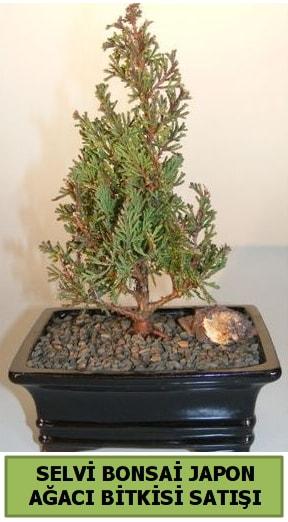 Selvi çam japon ağacı bitkisi bonsai  Nevşehir kaliteli taze ve ucuz çiçekler