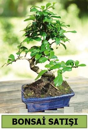 Çam bonsai japon ağacı satışı  Nevşehir güvenli kaliteli hızlı çiçek