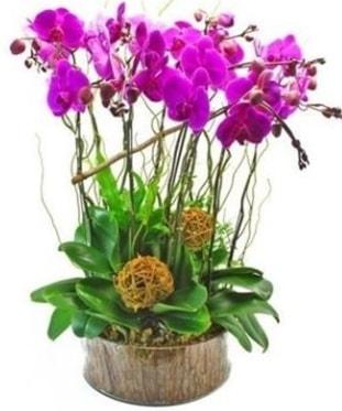 Ahşap kütükte lila mor orkide 8 li  Nevşehir çiçek yolla