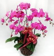 Sepet içerisinde 5 dallı lila orkide  Nevşehir online çiçekçi , çiçek siparişi