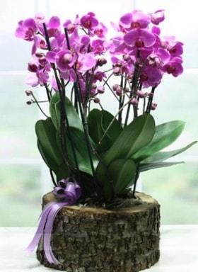Kütük içerisinde 6 dallı mor orkide  Nevşehir online çiçekçi , çiçek siparişi