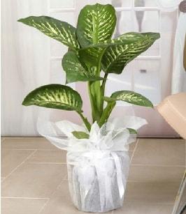 Tropik saksı çiçeği bitkisi  Nevşehir güvenli kaliteli hızlı çiçek
