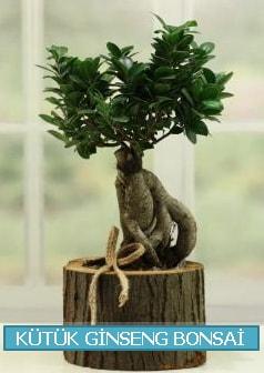 Kütük ağaç içerisinde ginseng bonsai  Nevşehir çiçek online çiçek siparişi