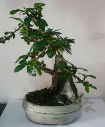 S şeklinde ithal bonsai ağacı  Nevşehir çiçek servisi , çiçekçi adresleri