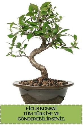 Ficus bonsai  Nevşehir çiçek online çiçek siparişi