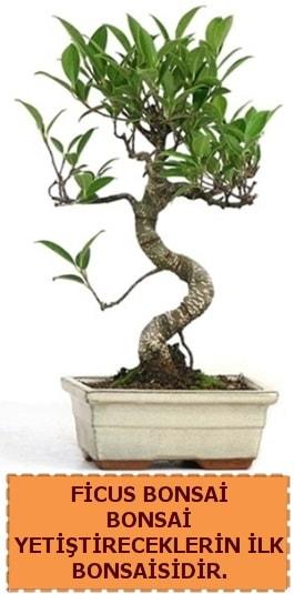 Ficus bonsai 15 ile 25 cm arasındadır  Nevşehir çiçek servisi , çiçekçi adresleri