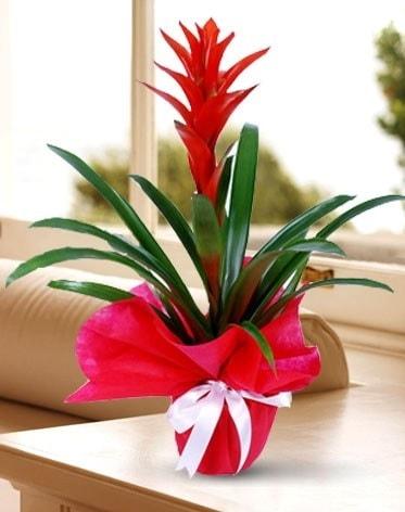 Guzmanya Saksı Çiçeği  Nevşehir çiçek servisi , çiçekçi adresleri