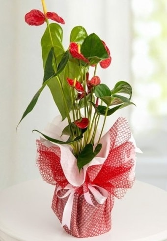 Anthurium Saksı Çiçeği  Nevşehir çiçek yolla , çiçek gönder , çiçekçi