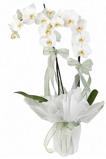 Çift Dallı Beyaz Orkide  Nevşehir internetten çiçek satışı
