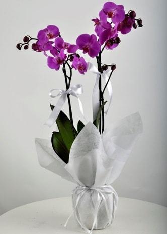 Çift dallı saksıda mor orkide çiçeği  Nevşehir çiçek satışı