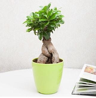 Ficus Ginseng Bonsai  Nevşehir çiçek siparişi sitesi