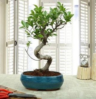 Amazing Bonsai Ficus S İthal  Nevşehir çiçekçi telefonları