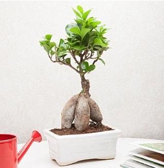 Exotic Ficus Bonsai ginseng  Nevşehir çiçek siparişi vermek