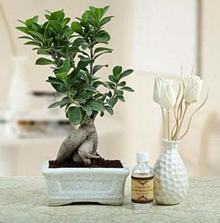 Ginseng ficus bonsai  Nevşehir çiçek gönderme