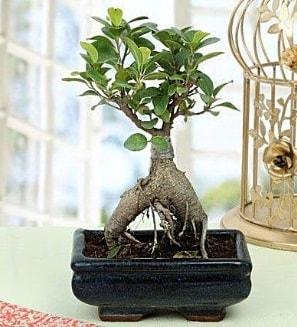 Appealing Ficus Ginseng Bonsai  Nevşehir internetten çiçek satışı