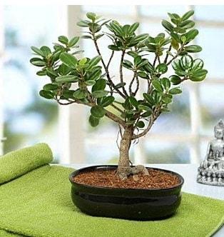 Lovely Ficus Iceland Bonsai  Nevşehir internetten çiçek satışı