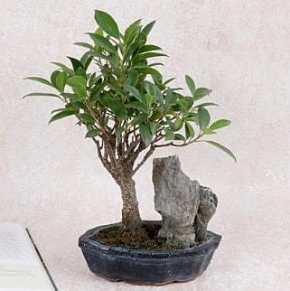 Japon ağacı Evergreen Ficus Bonsai  Nevşehir çiçek online çiçek siparişi