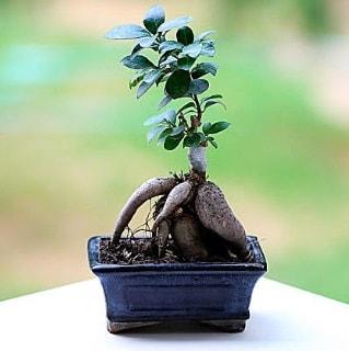 Marvellous Ficus Microcarpa ginseng bonsai  Nevşehir çiçek satışı
