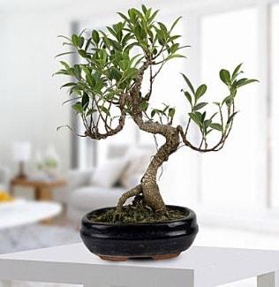Gorgeous Ficus S shaped japon bonsai  Nevşehir uluslararası çiçek gönderme