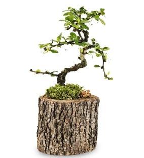 Doğal kütükte S bonsai ağacı  Nevşehir güvenli kaliteli hızlı çiçek