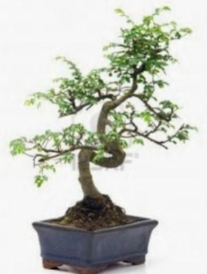 S gövde bonsai minyatür ağaç japon ağacı  Nevşehir güvenli kaliteli hızlı çiçek