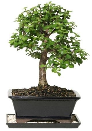 15 cm civarı Zerkova bonsai bitkisi  Nevşehir çiçek gönderme sitemiz güvenlidir