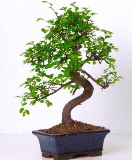 S gövdeli bonsai minyatür ağaç japon ağacı  Nevşehir çiçek online çiçek siparişi