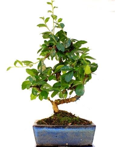S gövdeli carmina bonsai ağacı  Nevşehir çiçek servisi , çiçekçi adresleri  Minyatür ağaç