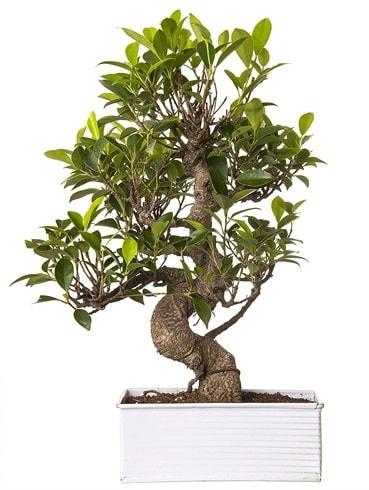 Exotic Green S Gövde 6 Year Ficus Bonsai  Nevşehir çiçek online çiçek siparişi