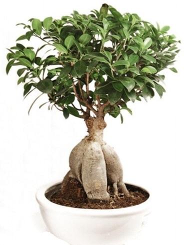 Ginseng bonsai japon ağacı ficus ginseng  Nevşehir hediye sevgilime hediye çiçek